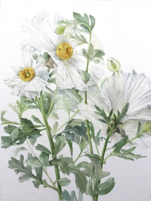 Botanical Illustration © Elaine Searle 3